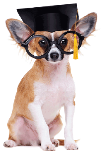 chihuahua dog wearing mortar board hat